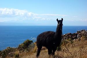 Titicacasee Alpaka