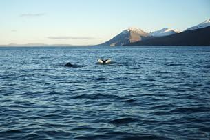 Husavik Waltour Buckelwale vor Bergen