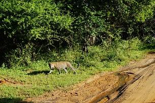 Yala Nationalpark Leopard