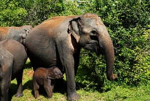 Yala Nationalpark Elefant mit Baby