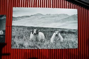 Island Haus Schafe