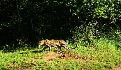 Yala Nationalpark Leopard läuft