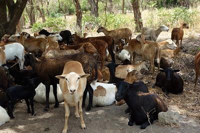 Ometepe Schafe