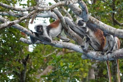 Jozani Forest Colobus Affenfamilie