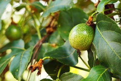 Lushoto Wanderung Passion Fruit