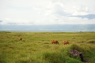 Ngorogoro Löwen im Feld