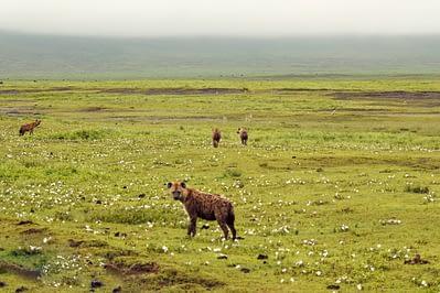 Ngorongoro Krater Hyänen