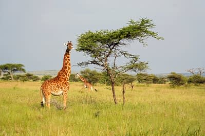 Safari Serengeti 2 Giraffen