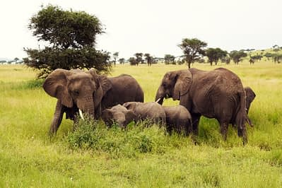 Serengeti Elefantenfamilie