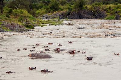 Serengeti Hippo Familie
