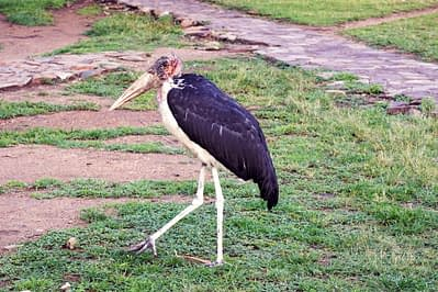 Serengeti Marabu