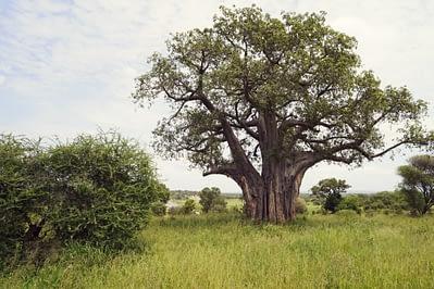 Tarangire Baobab Baum