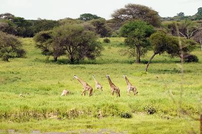 Tarangire Giraffen Close-Up