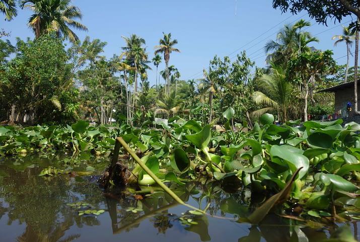 Aleppey Kerala Backwaters Wasserpflanzen