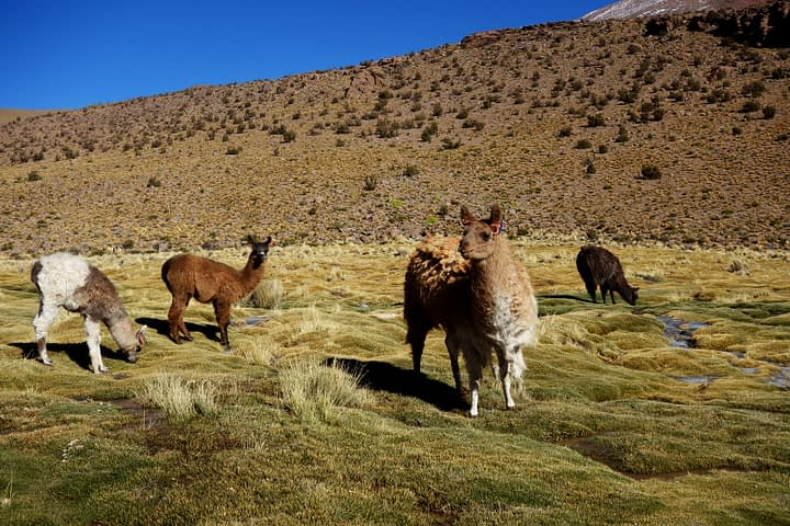 Salar de Uyuni Tour Lamas