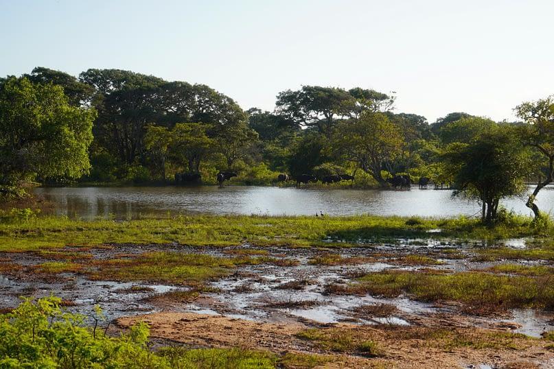 Yala Nationalpark Wasserbüffel