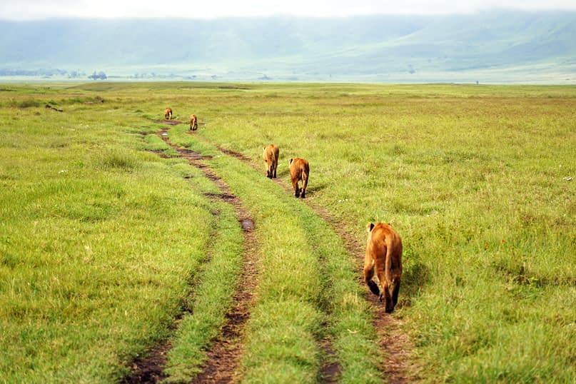 Ngorongoro Löwen auf dem Weg