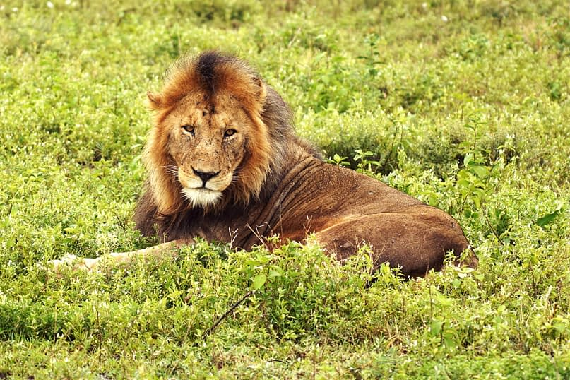 Safari Löwe
