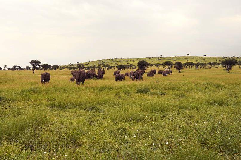 Serengeti Elefantenherde