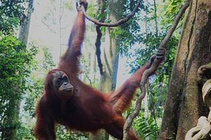 Bukit Lawang Mina hängt im Baum