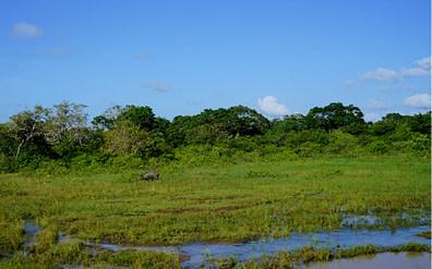 Yala Nationalpark Wildschwein