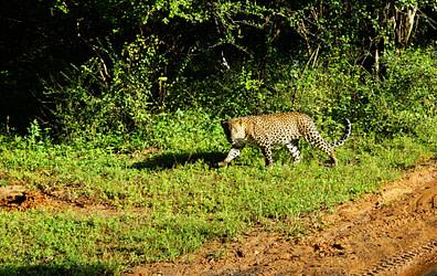 Yala Nationalpark Leopard guckt