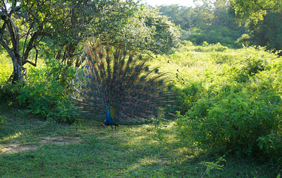 Yala Nationalpark Pfau Rad