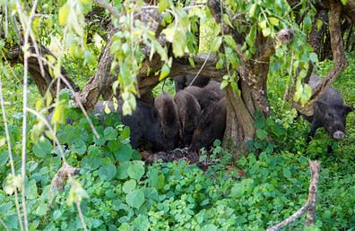 Yala Nationalpark Wildschweine