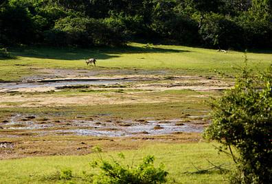 Yala Nationalpark Rehbock