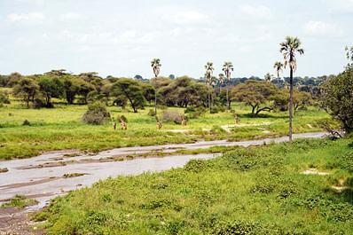 Safari Tarangire Giraffen am Fluss
