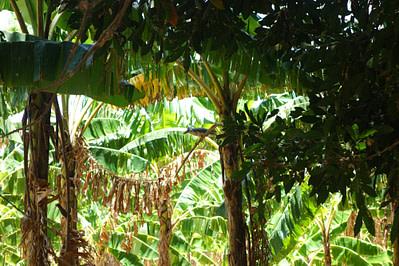 Ometepe Palmen