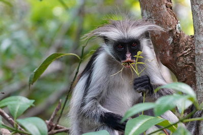 Jozani Forest Red Colobus Affe isst
