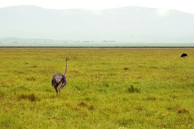Ngorongoro Krater Pfauen