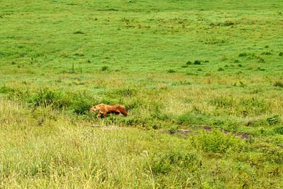 Ngorongoro Löwe
