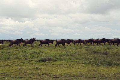 Safari Big Migration Gnus