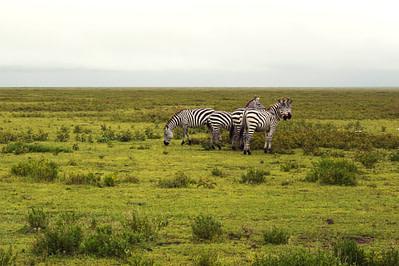 Safari Ndutu Zebras auf Wiese