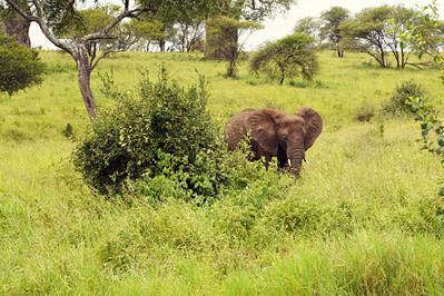 Safari Tarangire Elefant allein