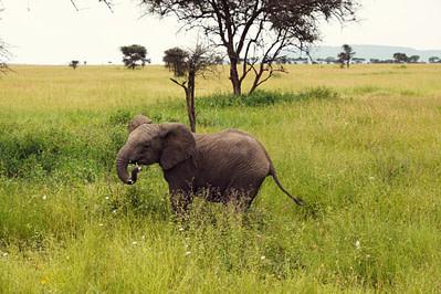 Serengeti Baby Elefant