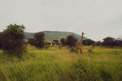 Serengeti Giraffen Familie