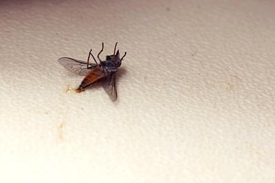 Tarangire Tsetse Fliege