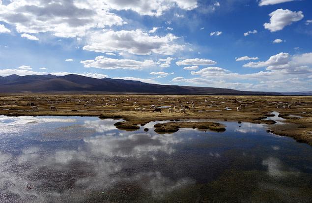 Colca Valley Alpakas