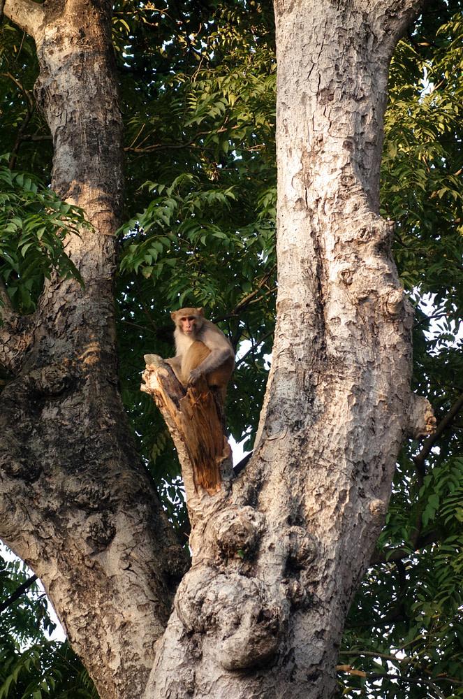 Bardia Nationalpark Affe