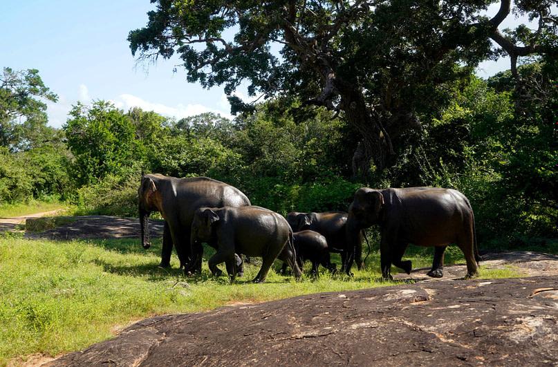 Yala Nationalpark Elefantenherde