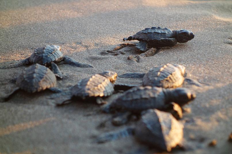 Jiquilillo Schildkröten