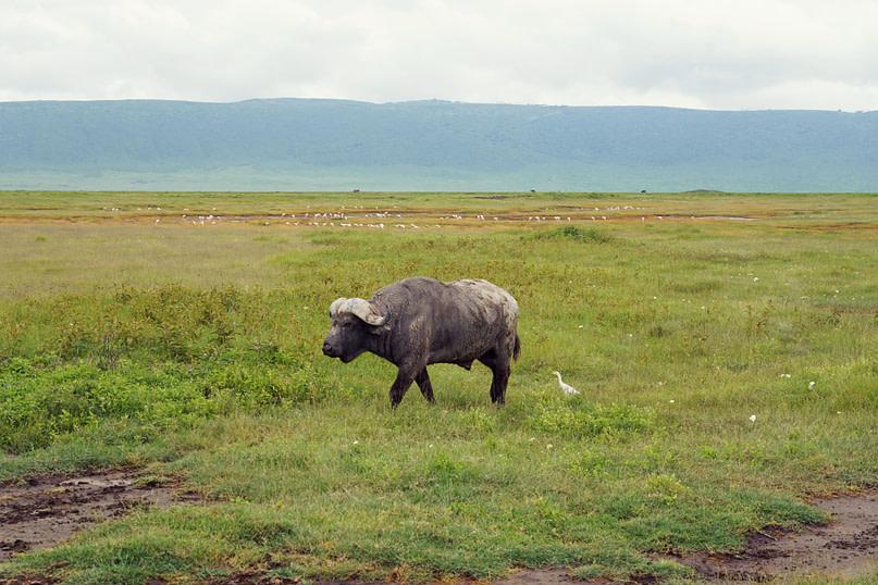 Ngorongoro Krater Büffel