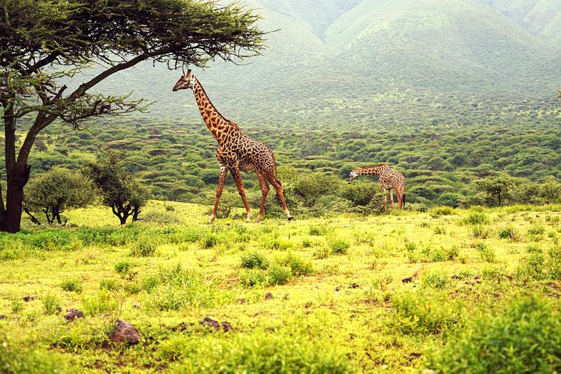 Safari Ngorongoro Giraffen am Baum