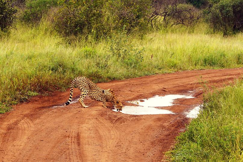 Safari Serengeti Gepard an Pfütze