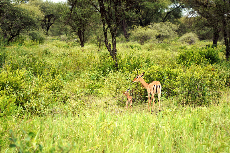 Safari Tarangire Impala mit Baby