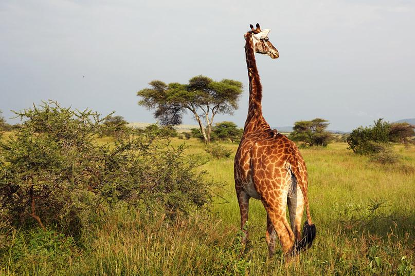 Serengeti Giraffe von hinten