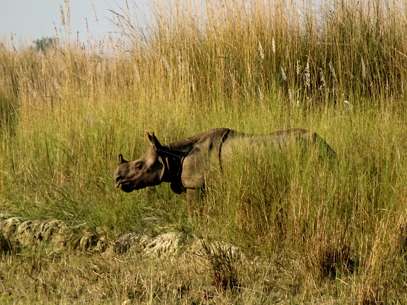 Bardia Nationalpark Nashorn